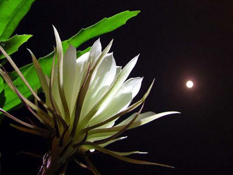 Hoa Quỳnh nở về đêm
