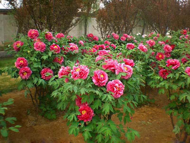 Trồng cây hoa Mẫu Đơn